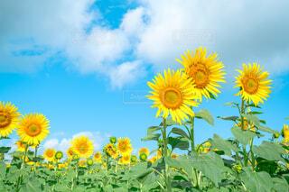 夏空の下に咲くひまわりの写真・画像素材[4686263]