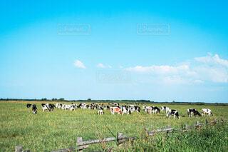 青空の下のんびり草を食べる牛たちの写真・画像素材[4737483]