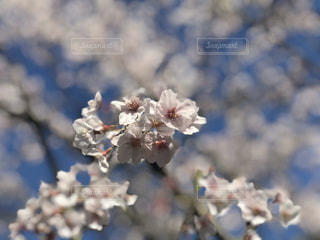 桜満開!の写真・画像素材[3079381]