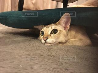 猫,動物,屋内,ペット,人物,ネコ,ネコ科の動物