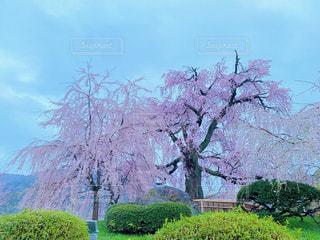 自然,花,桜,屋外,満開,樹木,桜の花,さくら,ブロッサム