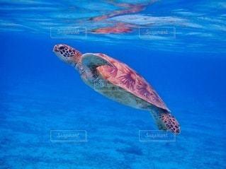 水の下で泳ぐカメの写真・画像素材[3544546]