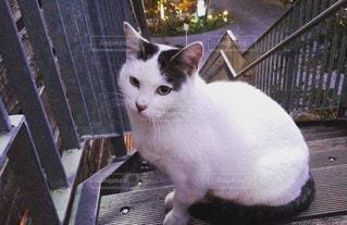 猫,動物,階段,白,ペット,人物,座る,ネコ