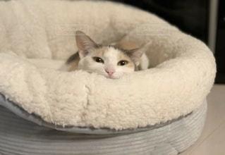 猫,動物,屋内,白,かわいい,ペット,子猫,人物,キティ,ネコ,ネコ科の動物