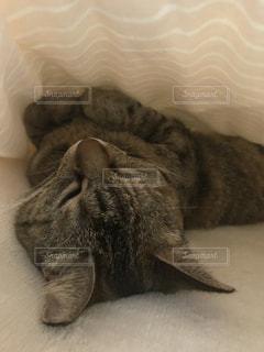 猫,動物,ペット,寝顔,人物,癒し,可愛い,寝相,ネコ