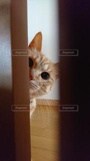 猫,動物,屋内,オレンジ,ペット,子猫,人物,可愛い,ネコ,保護猫,チラリ