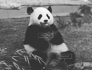 ブレないパンダの写真・画像素材[2921453]