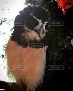 暖かそうなフクロウの写真・画像素材[2933637]