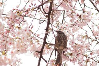 花,春,桜,動物,鳥,木,ピンク,花見,サクラ,満開,樹木,お花見,イベント,ヒヨドリ,bird,さくら