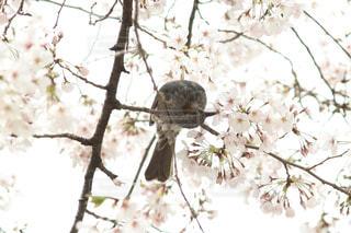 花,春,桜,動物,食事,鳥,木,屋外,花見,サクラ,樹木,お花見,イベント,ヒヨドリ,さくら,蜜