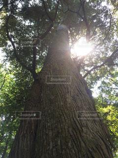 森の中の大きな木の写真・画像素材[2906705]