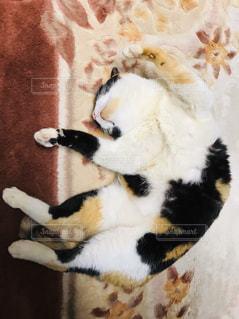 猫,動物,ペット,お昼寝,ネコ