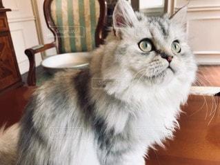 猫,動物,アンティーク,ペット,人物,癒し,座る,グレー,ネコ,もふもふ