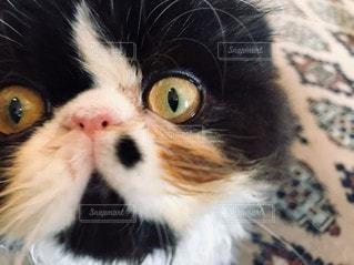 猫,動物,屋内,かわいい,アンティーク,ペット,人物,癒し,目,三毛猫,ネコ