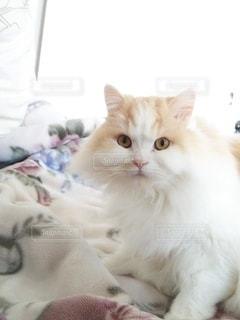猫,動物,屋内,白,かわいい,ペット,人物,癒し,スコティッシュフォールド,ハチワレ,ネコ,もふもふ,ベッド