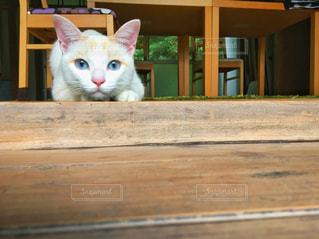 猫,動物,白,ペット,人物,木目,ネコ,狙う,警戒
