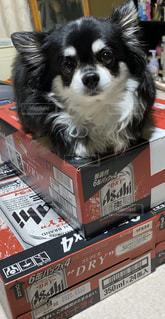 犬,動物,チワワ,屋内,表彰台