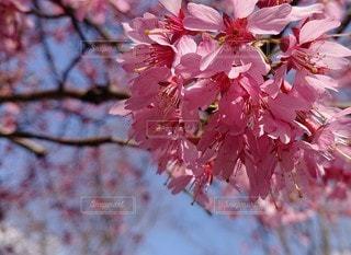 花,春,桜,ピンク,さくら,ブロッサム
