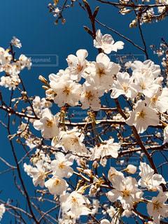 花,春,青,青い空,鮮やか,草木,桜の花,さくら,ブロッサム