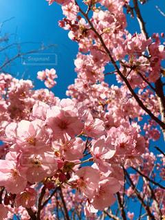 花,青,青い空,鮮やか,樹木,カラー,草木,桜の花,さくら,ブロッサム