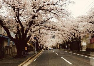 風景,空,花,春,樹木,道,桜の花,さくら,ブロッサム