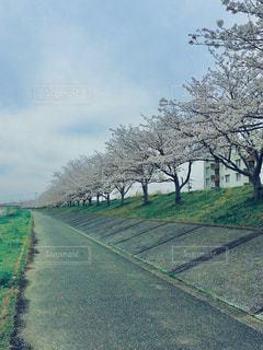 自然,空,花,桜,ピンク,花見,桜並木,樹木,草木