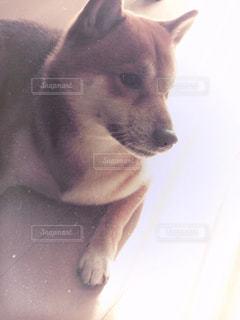 カメラを見ている犬の写真・画像素材[2912707]