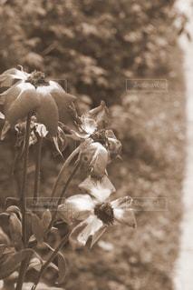 枯れた花の写真・画像素材[2918138]