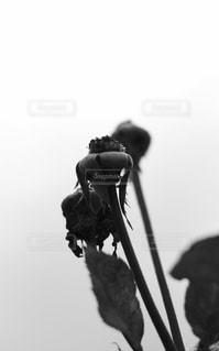 朽ちた花の写真・画像素材[2918141]
