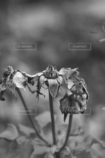 枯れた花の写真・画像素材[2918140]