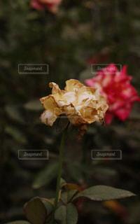 枯れたバラの写真・画像素材[2918139]