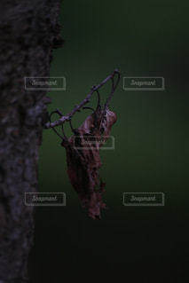 サナギのような枯葉の写真・画像素材[2918158]