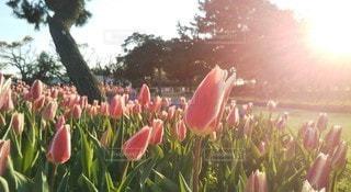 空,花,春,夕日,屋外,ピンク,チューリップ,草木