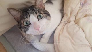 猫,動物,部屋,ペット,人物,布団,ネコ,ベット