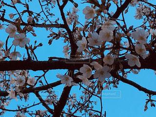 女性,男性,子ども,家族,恋人,友だち,1人,2人,3人,5人以上,空,花,春,屋外,ピンク,白,晴れ,青,枝,樹木,コントラスト,草木,桜の花,ブロッサム