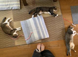 猫,動物,屋内,足,ねこ,ペット,床,人物,人,ネコ