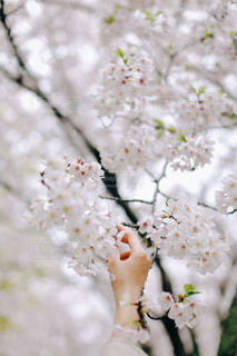 女性,花,春,桜の花,さくら,桜満開,ブロッサム,桜と手