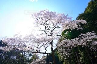 自然,空,春,屋外,満開,大木,樹木,一本桜,桜の花,さくら,淡いピンク,ヒガン桜,宝瀬の桜