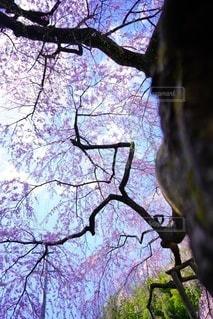 空,花,春,桜,屋外,しだれ桜,満開,樹木,イベント,桜の花,桜の木,エドヒガン桜,寿永の桜