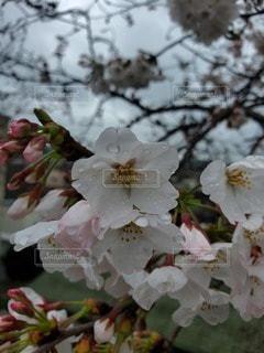 花,春,桜,雨,蕾,草木,galaxy,ブルーム,ブロッサム