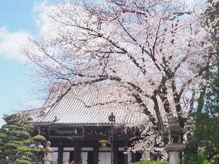 花,春,京都,ピンク,水色,樹木,快晴,寺,桜の花,さくら,ブロッサム