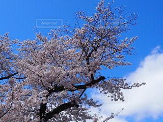 空,花,春,屋外,雲,青空,青い空,満開,樹木,快晴,桜の花,さくら,ブロッサム