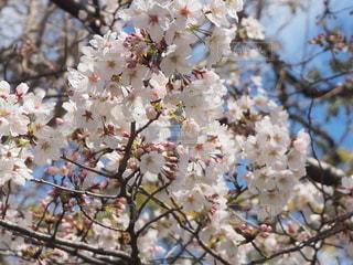 空,花,春,桜,屋外,ピンク,青空,水色,鮮やか,満開,樹木,お花見,桜色,薄桃色,桜の花,さくら,3月,ブロッサム,サクラ色