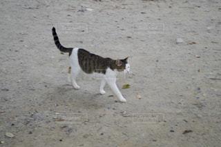 猫,動物,屋外,砂,ペット,人物,地面,ネコ,猫横断中