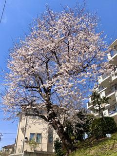 空,花,春,屋外,花見,樹木,お花見,イベント,草木,桜の花,さくら,ブロッサム