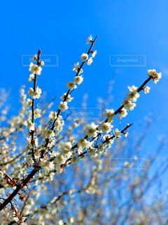 空,花,春,桜,枝,青い空,花見,つぼみ,お花見,草木,さくら,8分咲き