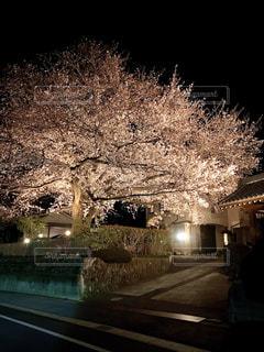 花,桜,屋外,花見,夜桜,樹木,お花見