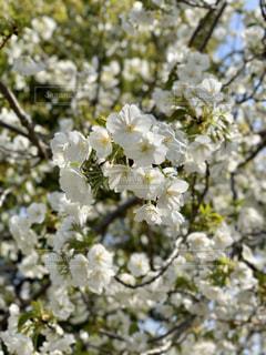 花,春,桜,青空,花見,樹木,お花見,イベント,あおぞら,ブロッサム