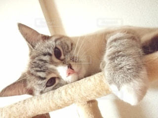 猫,動物,ペット,人物,キャットタワー,メス,マンチカン,シルバータビー,ネコ,室内飼い