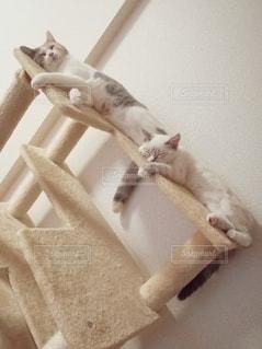 猫,動物,2匹,仲良し,ペット,人物,キャットタワー,メス,マンチカン,シンクロ,飼い猫,多頭飼い,ネコ,相性,メス同士